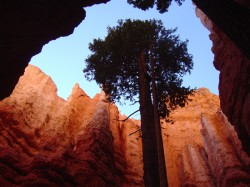 A Douglas Fir living on Wall Street in Bryce Canyon National Park.