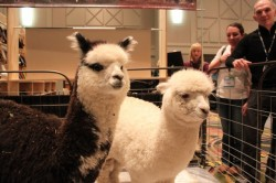 Alpacas of Montana brought some babies to Outdoor Retailer