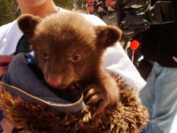 This baby black bear is likely seeing the world for the first time, surrounded by cameras and people clamoring to cuddle with them.