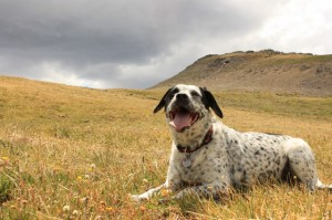 Lucy takes a break as she makes her way down Delano Peak after a good dog hike. (Photo: Jared Hargrave - UtahOutside.com)