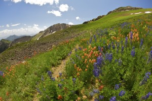 Wildflowers bloom on the slopes of Snowbird. (Image: Snowbird Ski and Summer Resort)