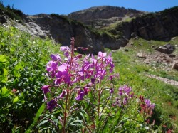 Wildflowers abound in Albion Basin during late summer. (Photo: Ryan Malavolta - UtahOutside.com)