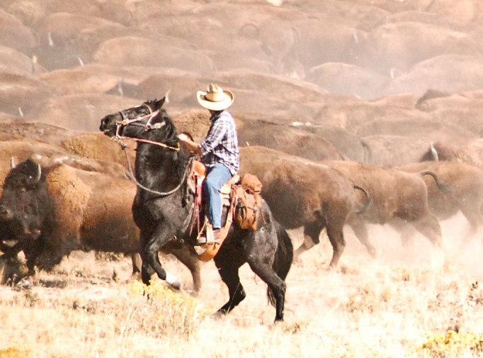 A rider gets up close and personal with Bison Americanus at the Antelope Island Bison Roundup