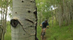 Aspen groves provide shade and twisting singletrack on the Strawberry Narrows Trail. (Photo: Jared Hargrave - UtahOutside.com)